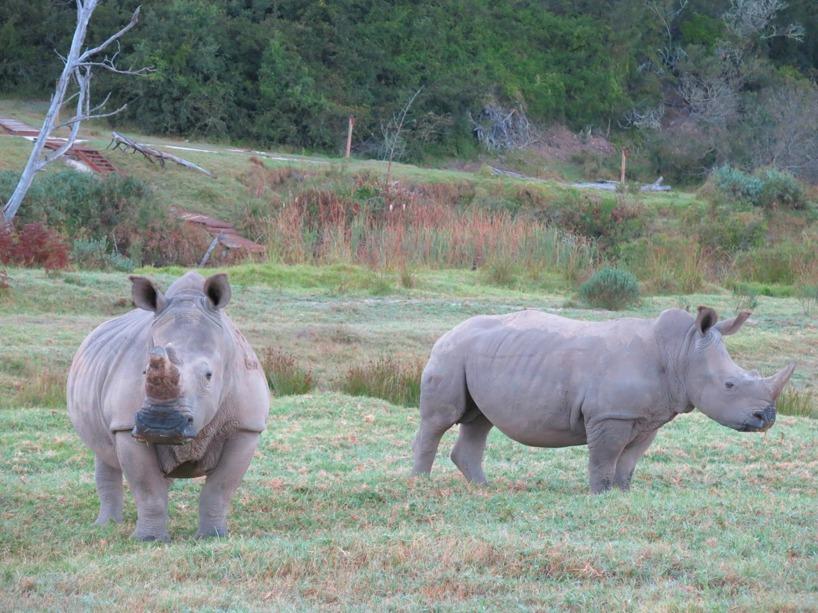 Vit noshörning!