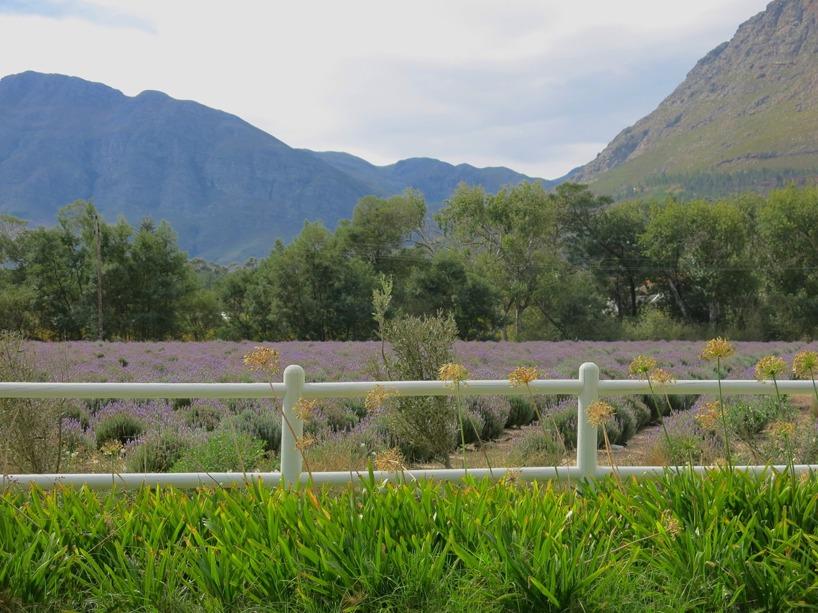 I grannens trädgård blommade flera hundra buskar lila lavendel. Med de gröna bergen som bakgrund kunde vi inte annat än att njuta