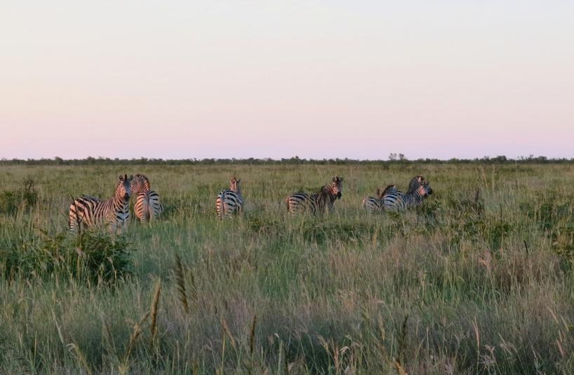 Zebrorna betade i gräset i solnedgången!