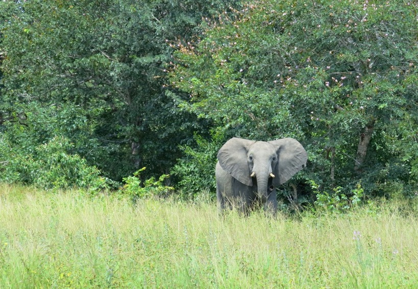 Här har vi elefanten som vi såg på höger sida om vägen. Öronen utåt som flaxade!