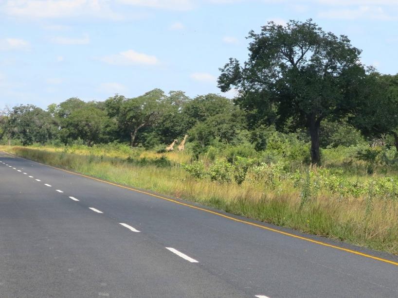 Giraffer på håll!