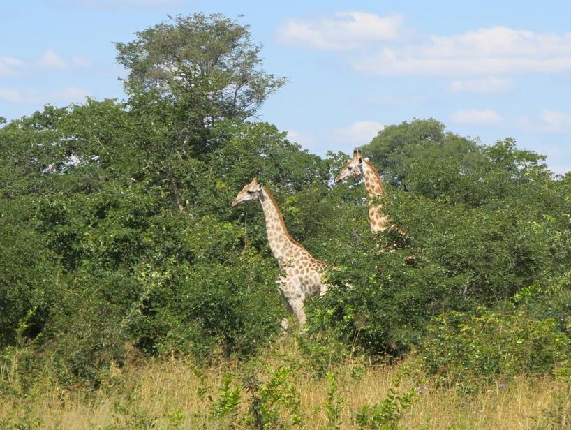 Det var Sussies dröm att se giraffer på denna resan - check!