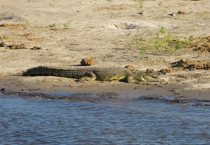 Denna jägare låg och lurade på sandbanken 300 meter från vår tältplats =)