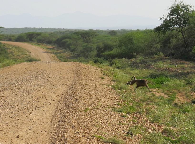 Hemma springer det kanske en hare över vägen, I Etiopien kan man se babianer!