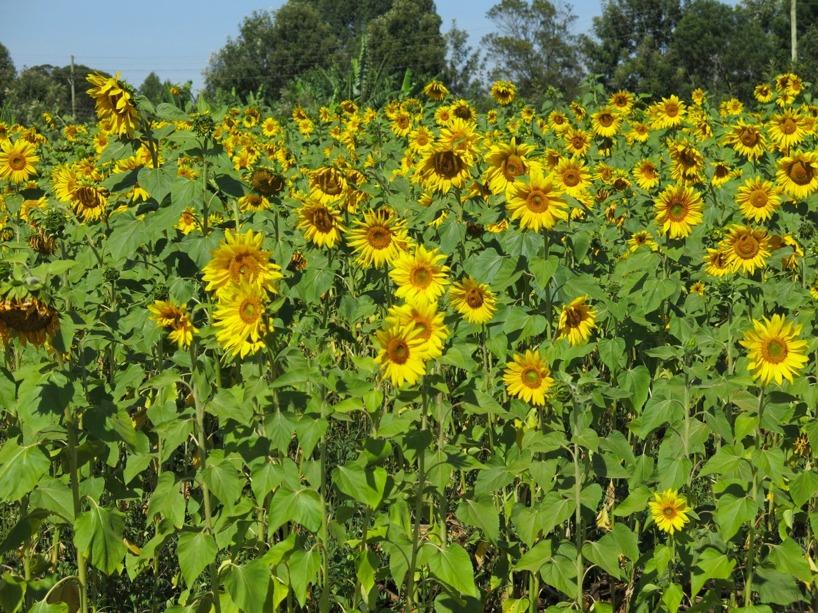 sunflowers massage leksaker för vuxna