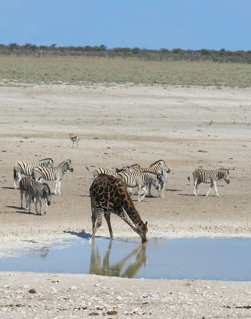 Susannes första dröm var att se giraff och hennes andra dröm var att se en giraff dricka - check!