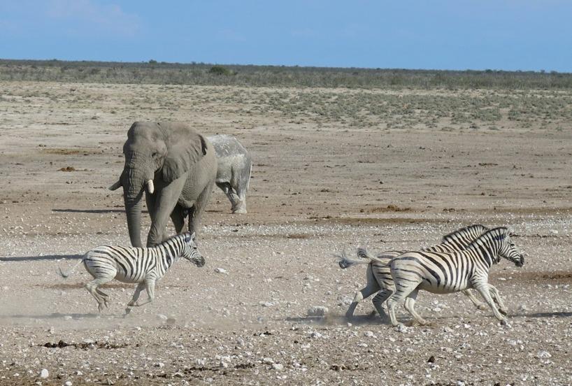 Elefanterna vill tydligen ha vattenhålet för sig själva och jagar bort zebra och andra djur =)