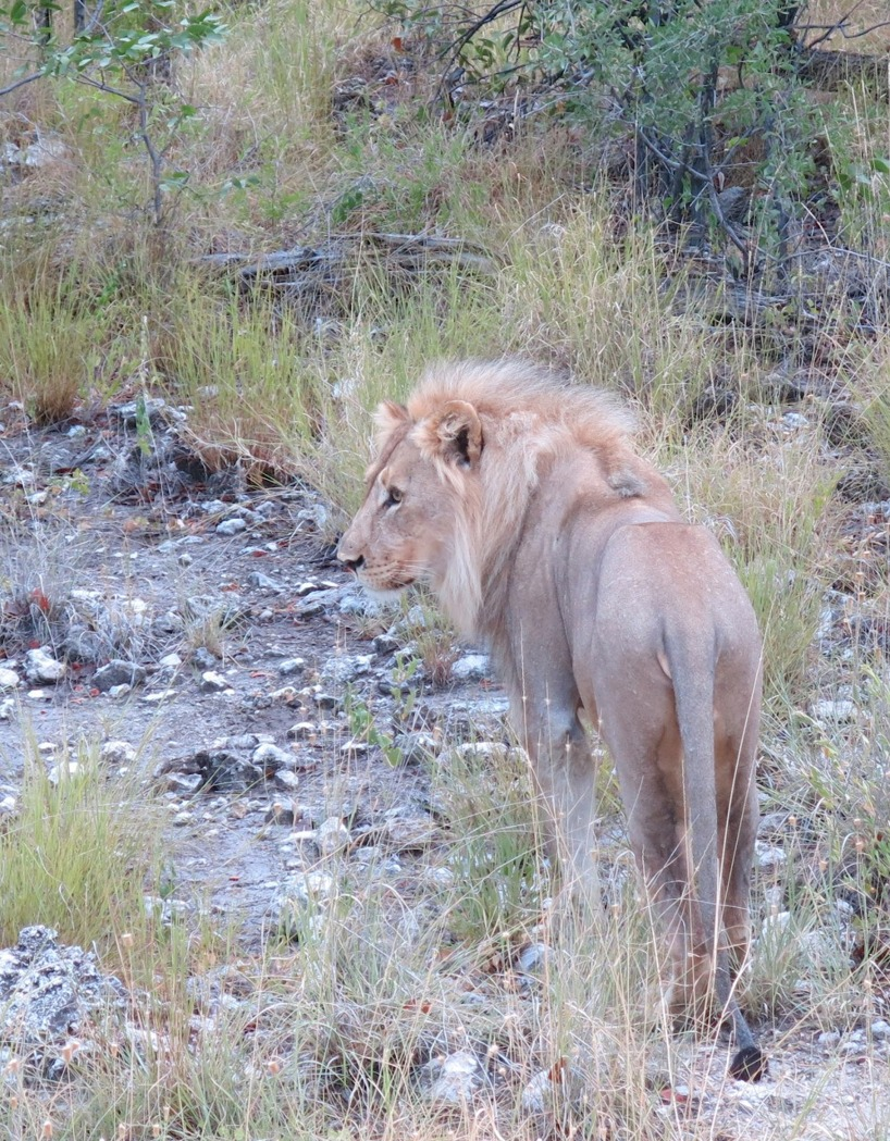 Vi fick äran att skåda lejon vid flertalet tillfällen!