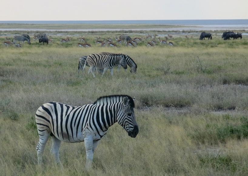Tydligen brukar zebra och gnuer samarbeta för att inte falla offer för rovdjuren. Zebrerna har ögonen och gnuerna luktsinnet!