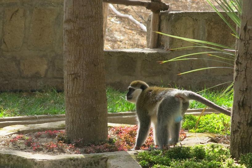 Vi hade middagsunderhållning som bestod av apor som försökte ta maten ifrån gästerna... Notera den blå pungen =)