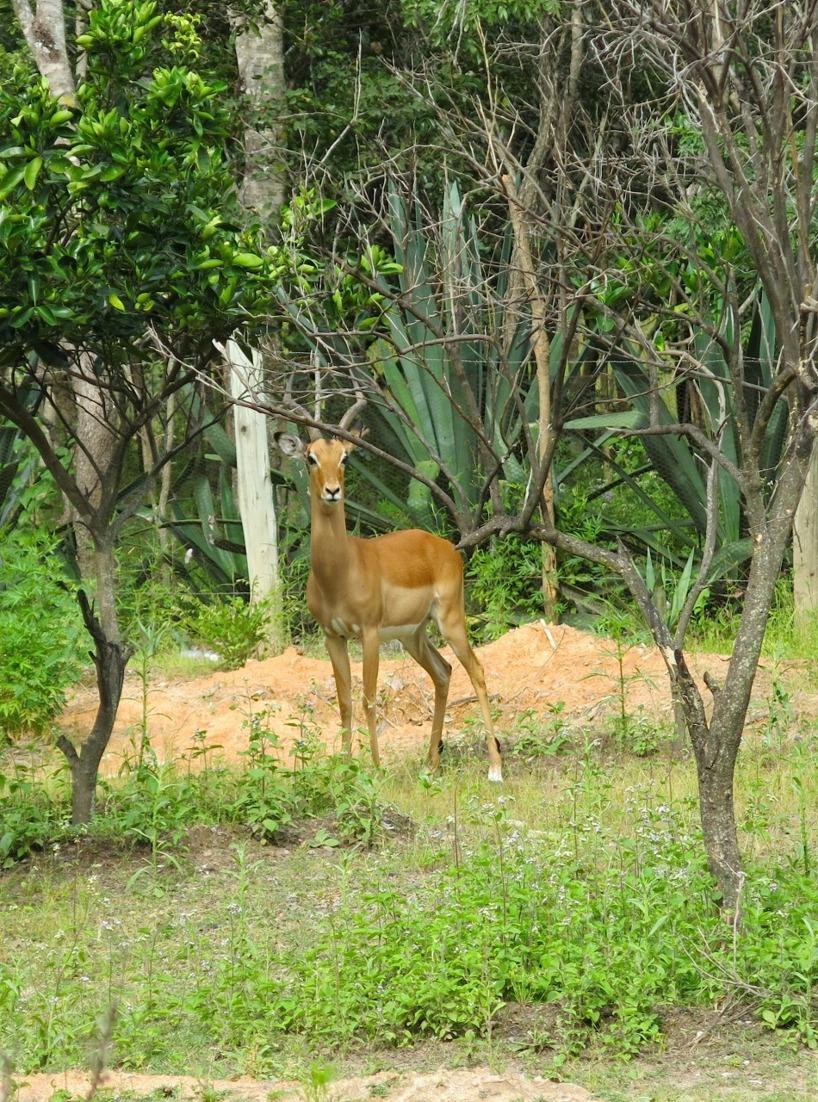 Är inga experter, men det kan vara en Impala antilop??