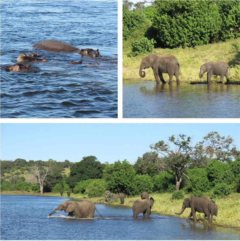 På safari i Botswana får man stor chans att se elefanter!