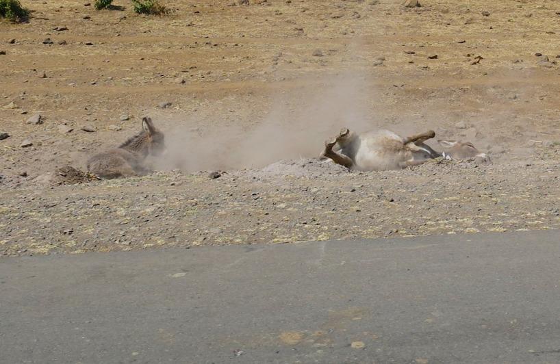 Påvägen genom en by fångade Susanne hur en åsna kliade sig på ryggen, genom att rulla runt i smutsen!