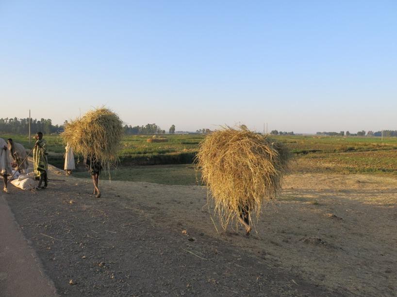 Jordbruket sköts med djur och allt gräs plockas för hand.