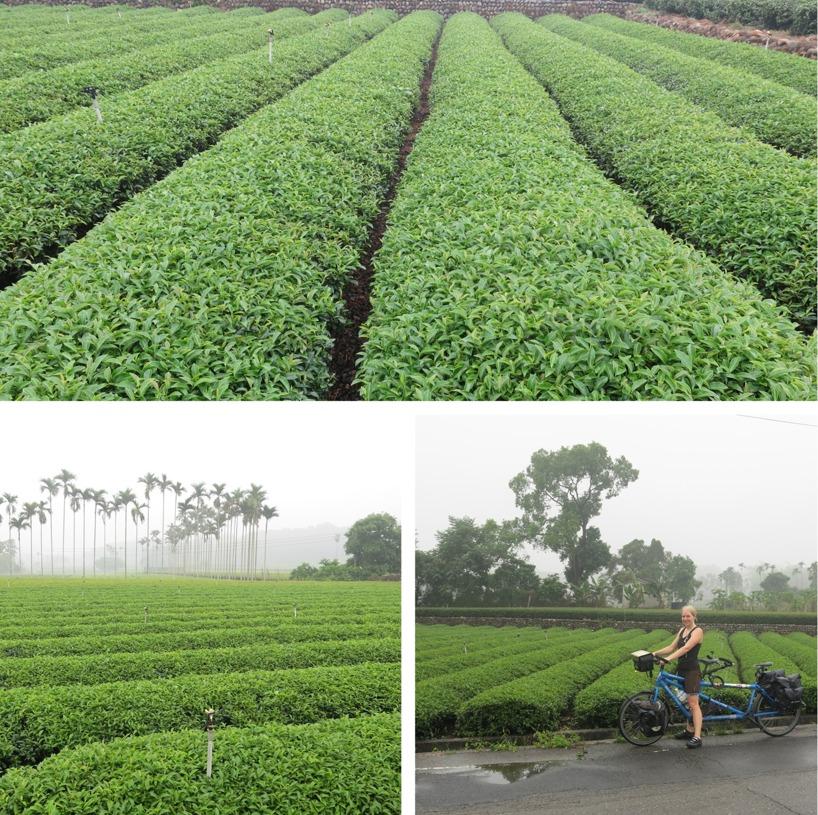 I regnet passerade vi mängder av te-odlingar!