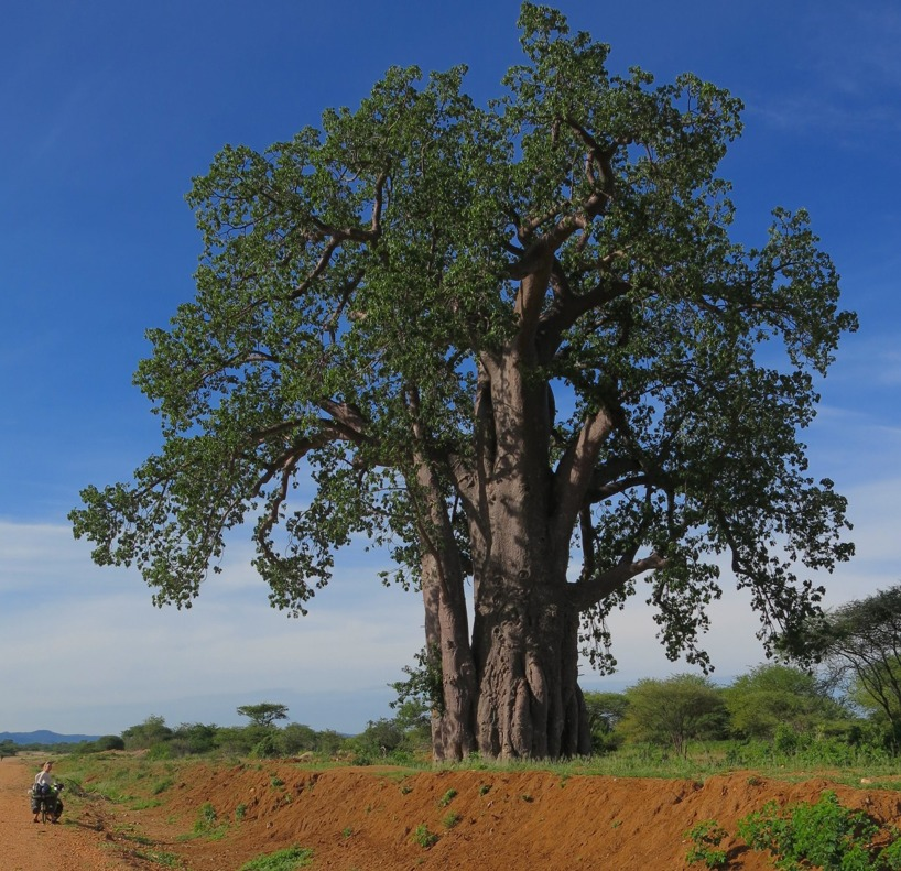 Storslagna Baobabträd!