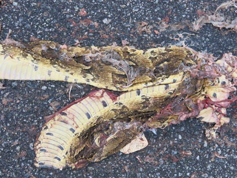 Såg ett femtontal ormar mellan Lusaka och Livingstone. Bara denna fångade vi på kort =)