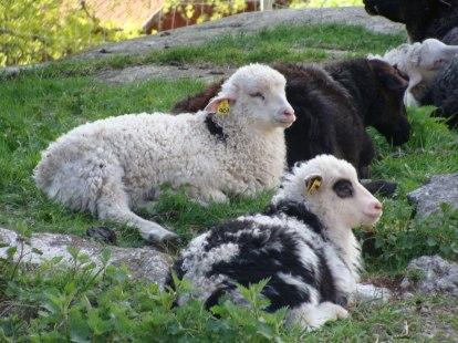 En brokig skara lamm!