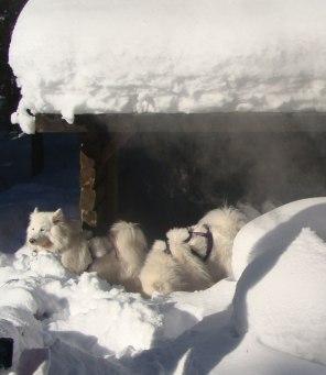 Snö och samojeder - den perfekta kombinationen!