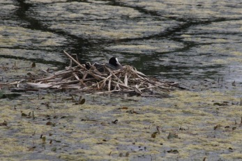 Sothöna vid våtmarken i Rydebäck