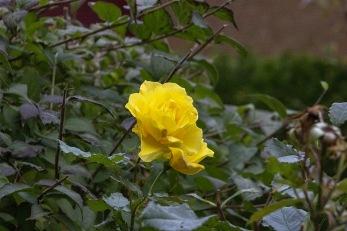 Ros  i blom 4 november på Grindögatan