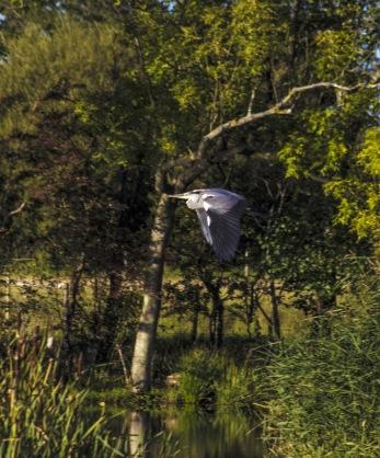 Hägern i flygande fläng....................