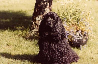 Corall's Brenda-Lee (DaaLee)  -  vår första hund som blev 10år     1983-1993