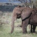 elephant serengeti kopi