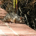 dying possum