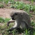 apa vervet monkey