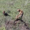 Gepardtermit