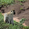 Vervet monkey in grass