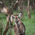 waterbuck serengeti2