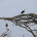 marabou storkar