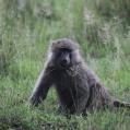 savanna baboon1