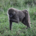 savanna baboon2