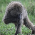 savanna baboon3
