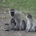 breastfeeding monkey