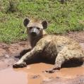 Hyena i rött vatten