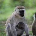 mother and child monkies