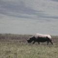 noshörning ngorongoro
