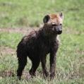 hyena nogrongoro