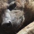 närportrett av hyena