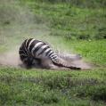 rullande zebra 1