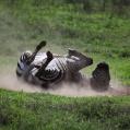 rullande zebra 3