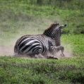 rullande zebra 4