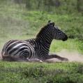 rullande zebra 5