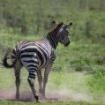 rullande zebra 6