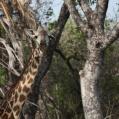 camuflage giraff