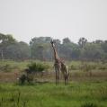Saadani giraff